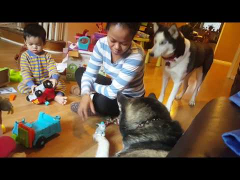 Siberian huskies are very calm family dogs and has a goat on his paw.