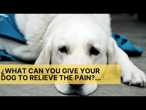 💊 ¿what can you give your dog to relieve the pain?