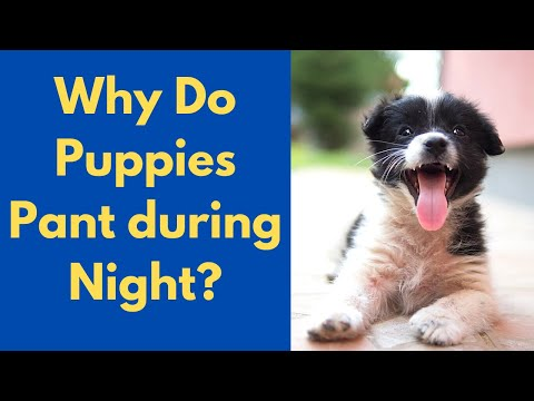 Why is your puppy panting during night-time? possible reasons and treatment