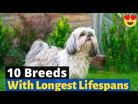 10 dog breeds with longest lifespans 😇   should you get one of these dogs?  