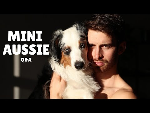 Everything you need to know about my mini australian shepherd