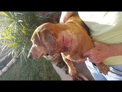 Coyote jumps fence, attacks family dog