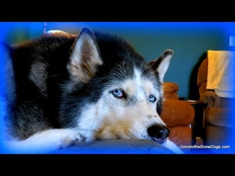 Are huskies a lot of work? are they hard to care for? fan friday 129