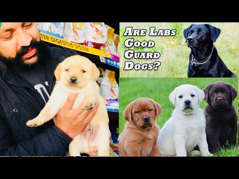 Things to know about - labrador retriever is good guard or watch puppy | dogs? bholashola
