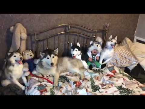 How many huskies can you see?!?