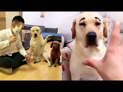 Labrador struggles with who is ugly and who is beautiful😑funny dog being hypnotized😂