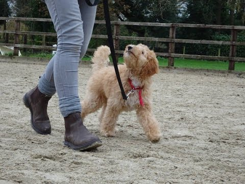 Harry - labradoodle puppy - 3 week residential dog training at adolescent dogs