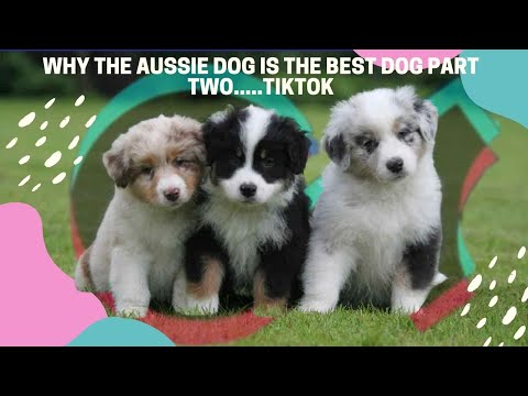 Why the aussie dog is the best dog part two.....tiktok