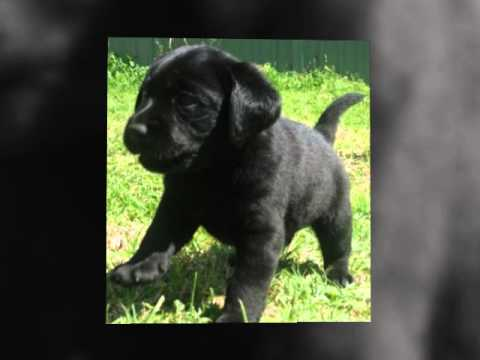 Adorable labrador puppies for sale in nsw australia on the mid north coast