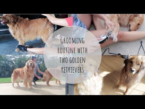Grooming routine with two golden retrievers sharing must have grooming products