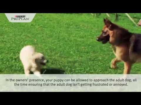 Purina® pro plan® puppy tips - playing & interacting with other dogs and animals