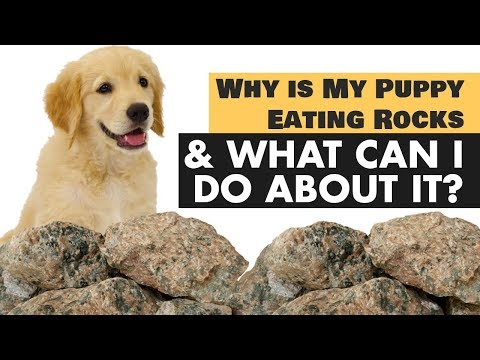 Why is my puppy eating rocks what can i do about it