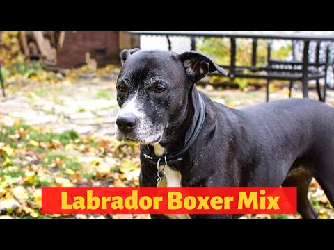 All about the boxer labrador mix (boxador)   should you get a boxador for you and your family?