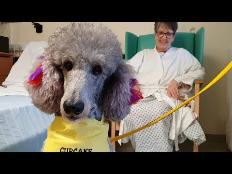 Pink poodle is hospital therapy dog