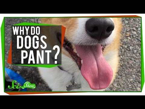 Why do dogs pant?