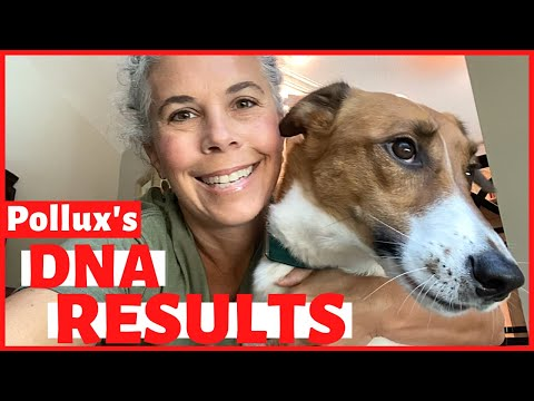Pollux's dog dna test results ~ what breed is my dog?