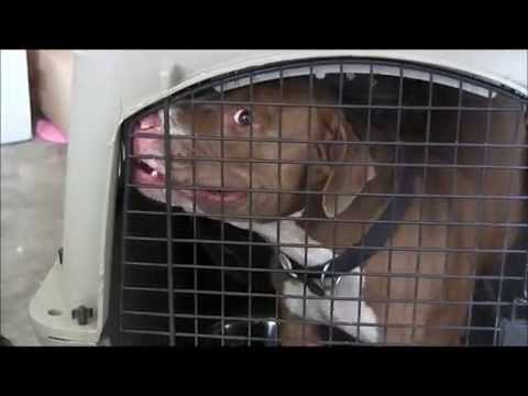 """Dog aggressive """"red nose pitbull"""" out of control ( red zone)"""