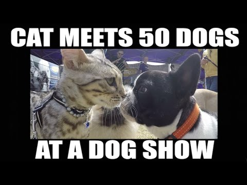 Watch this cat meet 50 dogs at a dog show