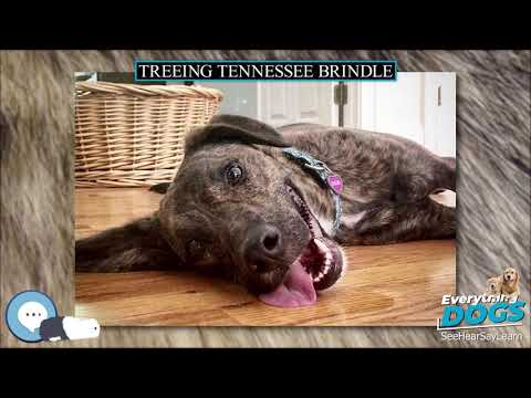 Treeing tennessee brindle 🐶🐾 everything dog breeds 🐾🐶