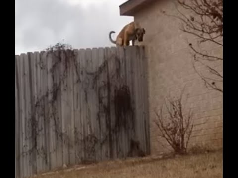 Fence jumping dog stopped by homemade coyote roller. lose weight more energy