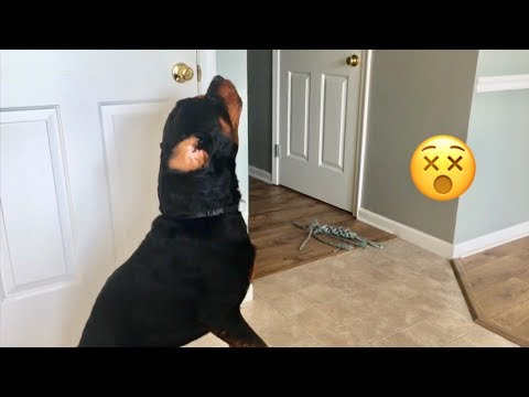 Rottweiler howling, no challenge needed! |15
