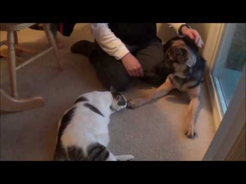 German shepherd meets cats for first time