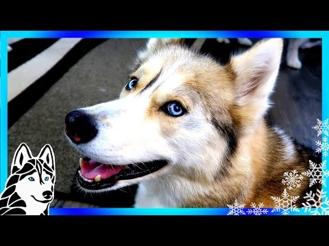 What if they ban huskies | #askgttsd 272