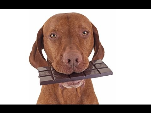 What happens when a dog eats chocolate
