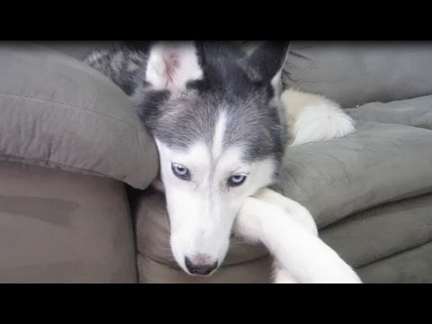 How do i stop my dog from digging - stop siberian husky digging - fan friday # 51