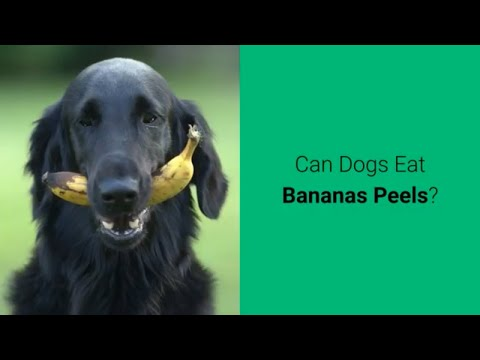 Can dogs eat bananas peels? 🍌