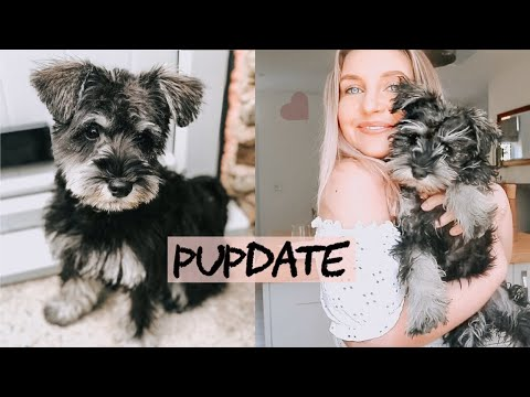 A day in the life of my mini schnauzer puppy   routine, training and update