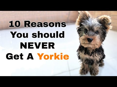 Why you shouldn't get a yorkie (10 reasons)