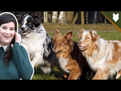 Are australian shepherd good for first time owners
