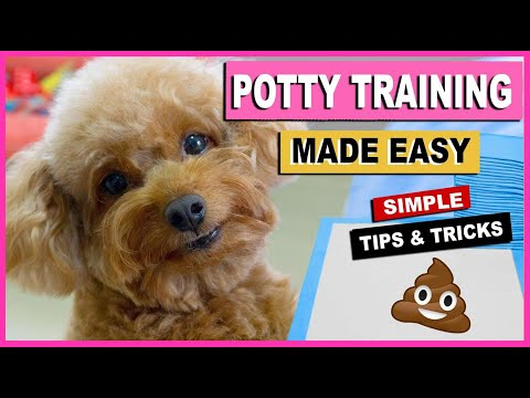 How to potty train your dog quickly- training my toy poodles  the poodle mom