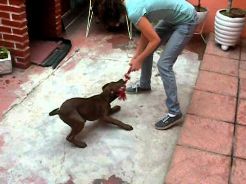 Pit bull puppy: obedience training