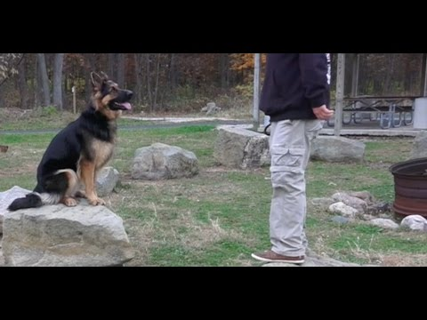 Dog training: 2 year old german shepherd, scout! before/after 2 week board and train