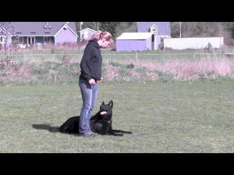 Ipo3 trained german shepherd for sale in action