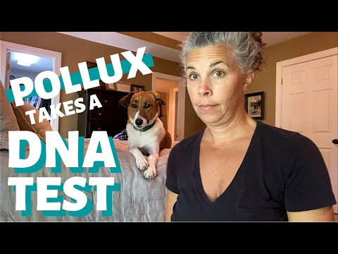 Pollux takes a dog dna test ~ is my dog a border collie?
