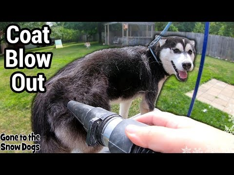 Husky puppy first time grooming and coat blow   do huskies shed?