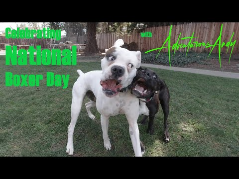 Celebrating national boxer day national love your pet day - episode 6