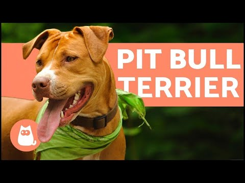American pit bull terrier - characteristics and care