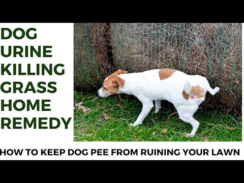 Dog urine killing grass home remedy | how to keep dog pee from ruining your lawn