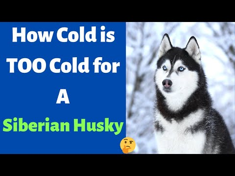 How cold is too cold for your siberian husky? how much can he/she adjust to?