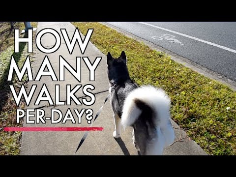 How much exercise does a husky need?