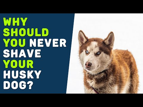 Why should you never shave your siberian husky dog?
