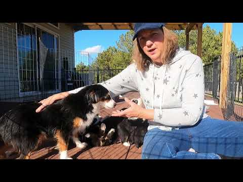 What is a toy australian shepherd, what is better, male or female