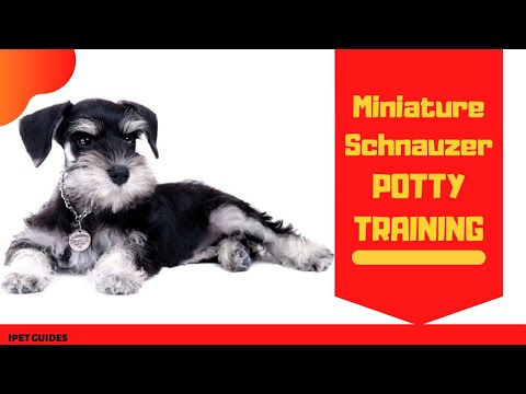How to potty train miniature schnauzer puppy with ease