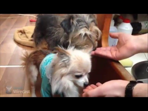 How to feed raw chicken bones for dogs with arthritis - dogs love raw meat !