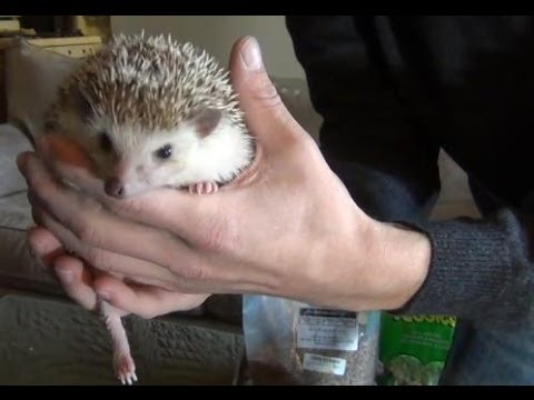 Hedgehogs - what to feed them