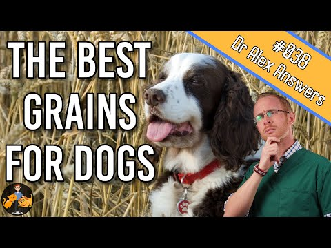Can dogs eat grains ( what are the best grains to feed them?) - dog health vet advice